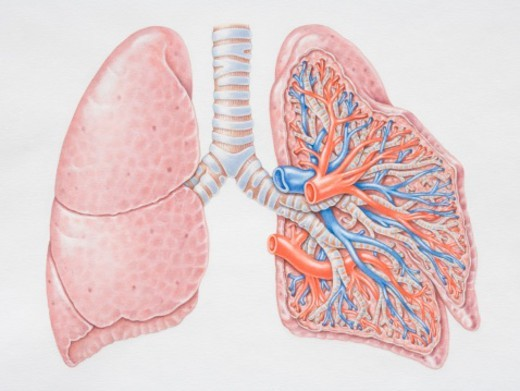 Stock Photo: 4268R-6843 Diagram of the lungs, front view.