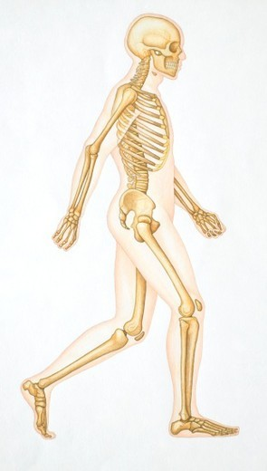 Human skeleton showing all the joints in walking position. : Stock Photo