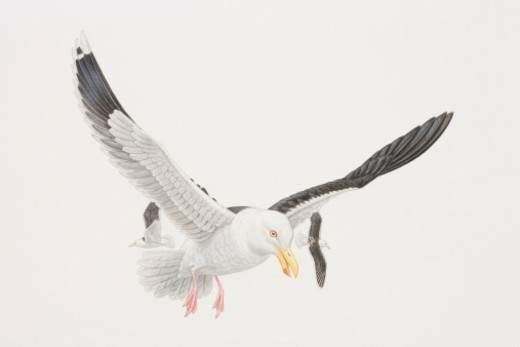 Larus marinus, Great Black-backed Gull in flight, two other gulls flying behind it. : Stock Photo
