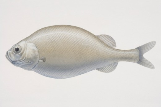 Stock Photo: 4268R-7002 Illustrated side view of Legless Searsid (Platytroctes apus), often also called tubeshoulders due to a unique 'shoulder' gland located over the pectoral fin.