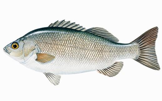 Stock Photo: 4268R-7534 Silver Perch (Bidyanus bidyanus), freshwater fish