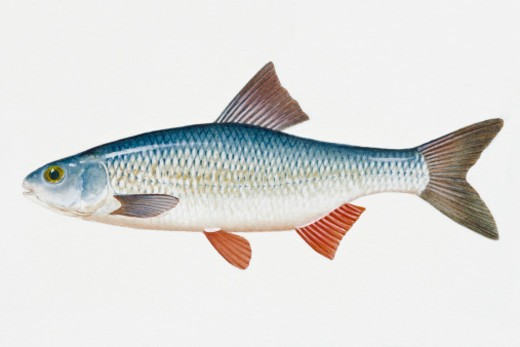 Stock Photo: 4268R-8472 Illustration of Danubian roach (Rutilus pigus virgo), European freshwater fish