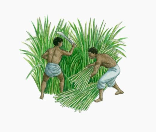 Illustration of slaves harvesting sugarcane on plantation : Stock Photo