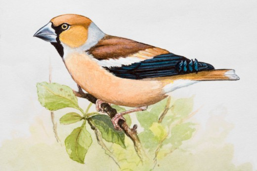 Hawfinch (Coccothraustes coccothraustes) perching on branch, side view : Stock Photo