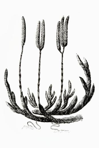 Black and white illustration of Lycopodium clavatum (Club moss) : Stock Photo