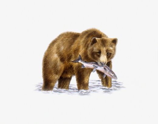 Stock Photo: 4268R-9291 Grizzly Bear (Ursus arctos horribilis), walking in water carrying fish in mouth