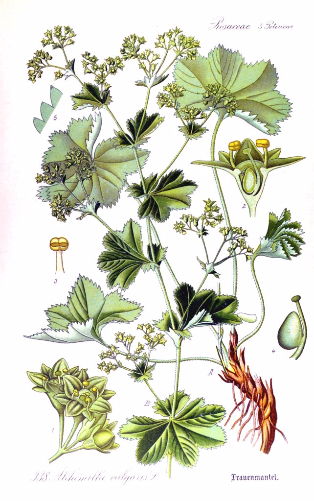 Stock Photo: 4269-11608 Lady's mantle (Alchemilla vulgaris). From Flora of Germany, Austria and Switzerland (1905), O. W. Thomé.