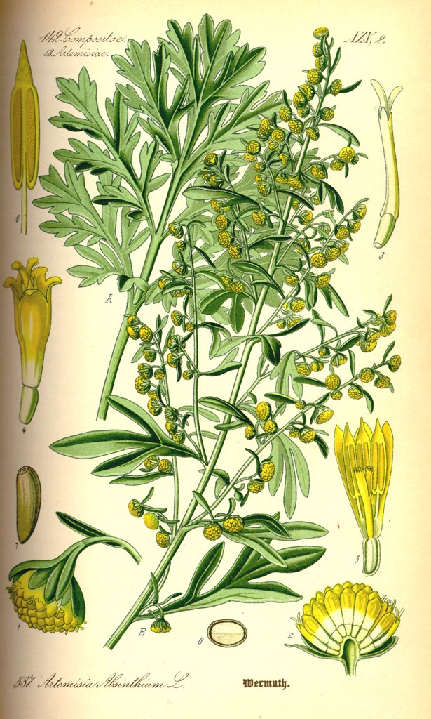 Absinth (Artemisia absinthium) used for its many medicinal properties and as ingredient in the alcoholic drink absinthe. From Flora of Germany, Austria and Switzerland (1885), O. W. Thomé. : Stock Photo