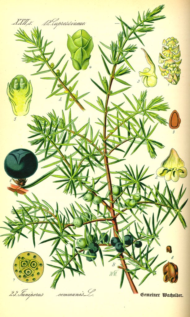 Stock Photo: 4269-11654 Juniper (Juniperus communis) et juniper-berries, used a food condiment. From Flora of Germany, Austria and Switzerland (1885), O. W. Thomé.