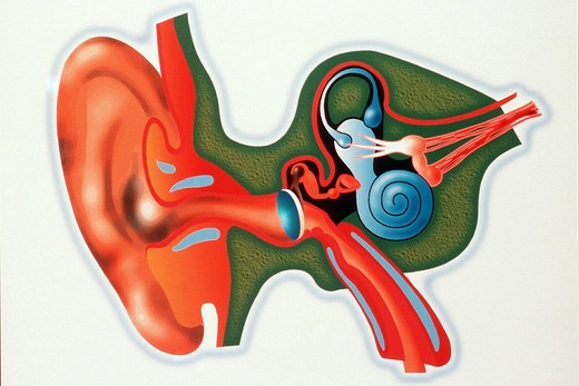 Stock Photo: 4269-24870 Ear. Internal ear section Computer-generated image