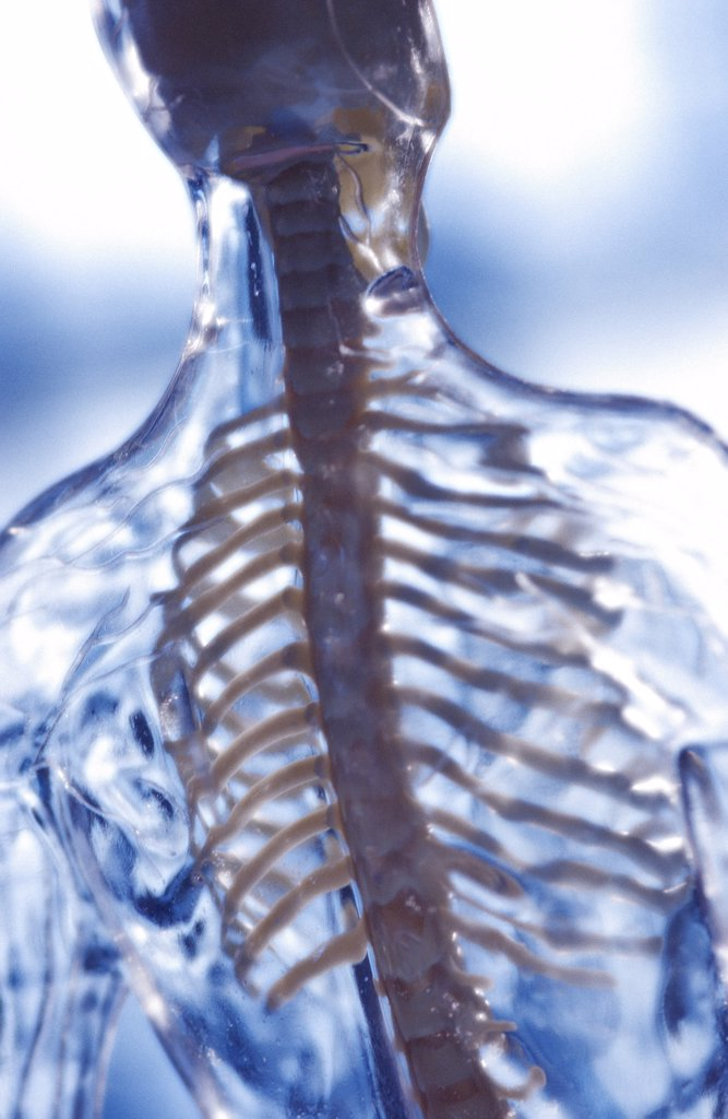 Backbone. Model with backbone. : Stock Photo