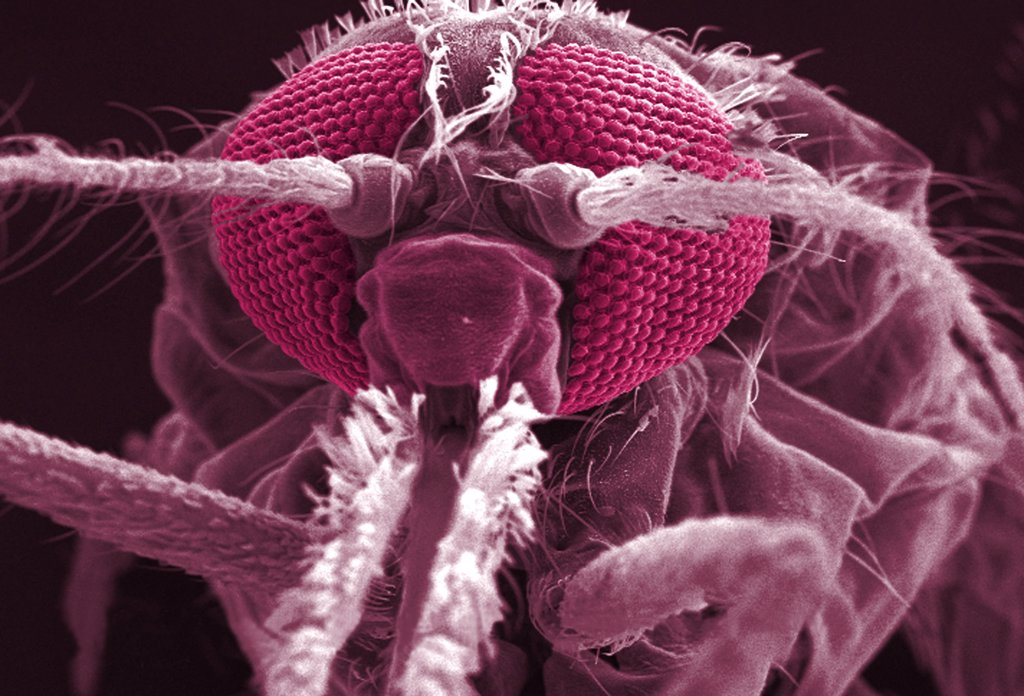 Anopheles gambiae. Scanning electron micrograph (SEM) of the Anopheles gambiae mosquito's anterior head. Magnification x 114. This mosquito is a vector of the parasite Plasmodium, the agent of malaria. : Stock Photo