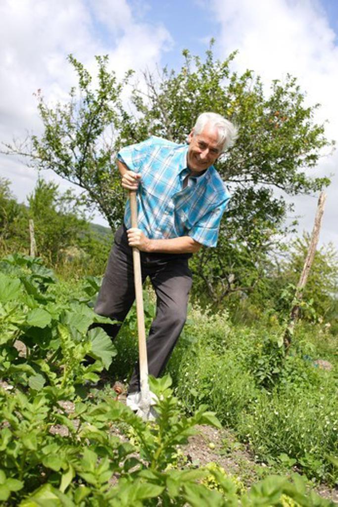 Senior gardening in his vegetable garden. : Stock Photo