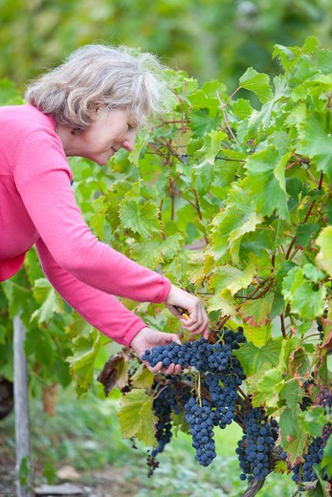 Exploitation agricole dans le sud ouest. Cueillette du raisin à la main. Emploi saisonnier, travail des seniors, retraité bénévole etc.... : Stock Photo