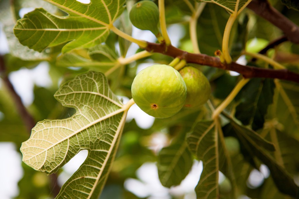 Stock Photo: 4269-35528 Fig tree with green figs