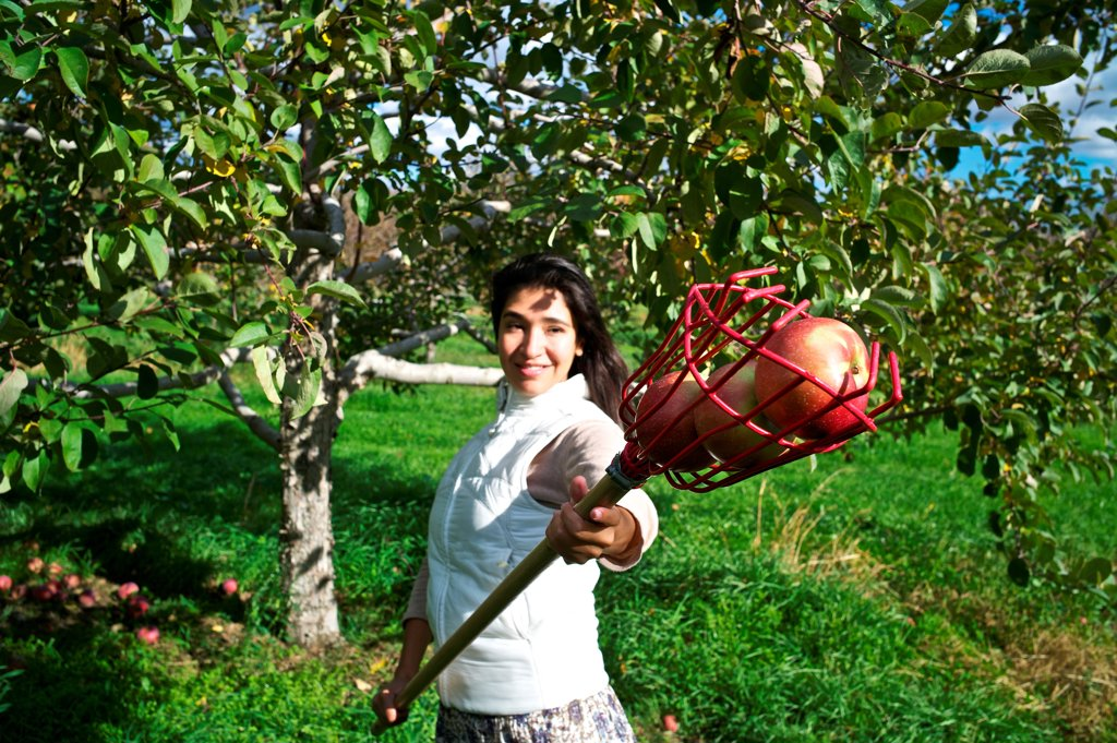 Stock Photo: 4271-1260 Apple picking at Orchard