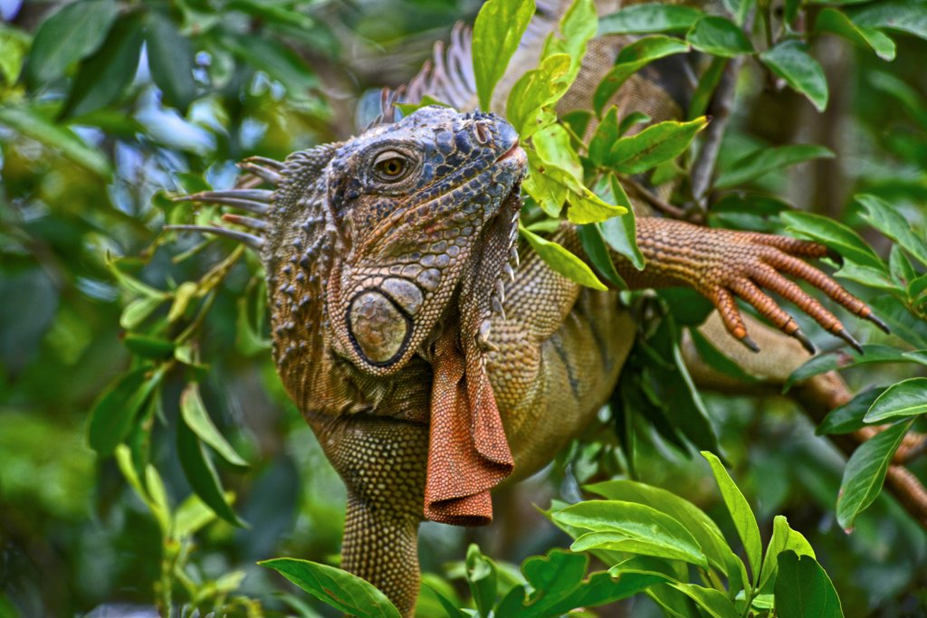 Stock Photo: 4271-1517 Costa Rica, Green iguana (iguana iguana)