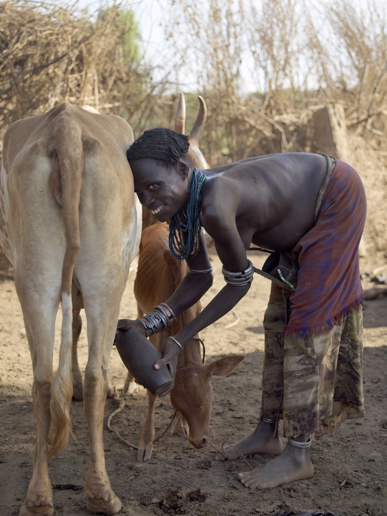 Stock Photo: 4272-10608 A Dassanech woman milks her familys cattle in the early morning. The Dassanech speak a language of Eastern Cushitic origin. They live in the Omo Delta and they practice animal husbandry and fishing as well as agriculture.