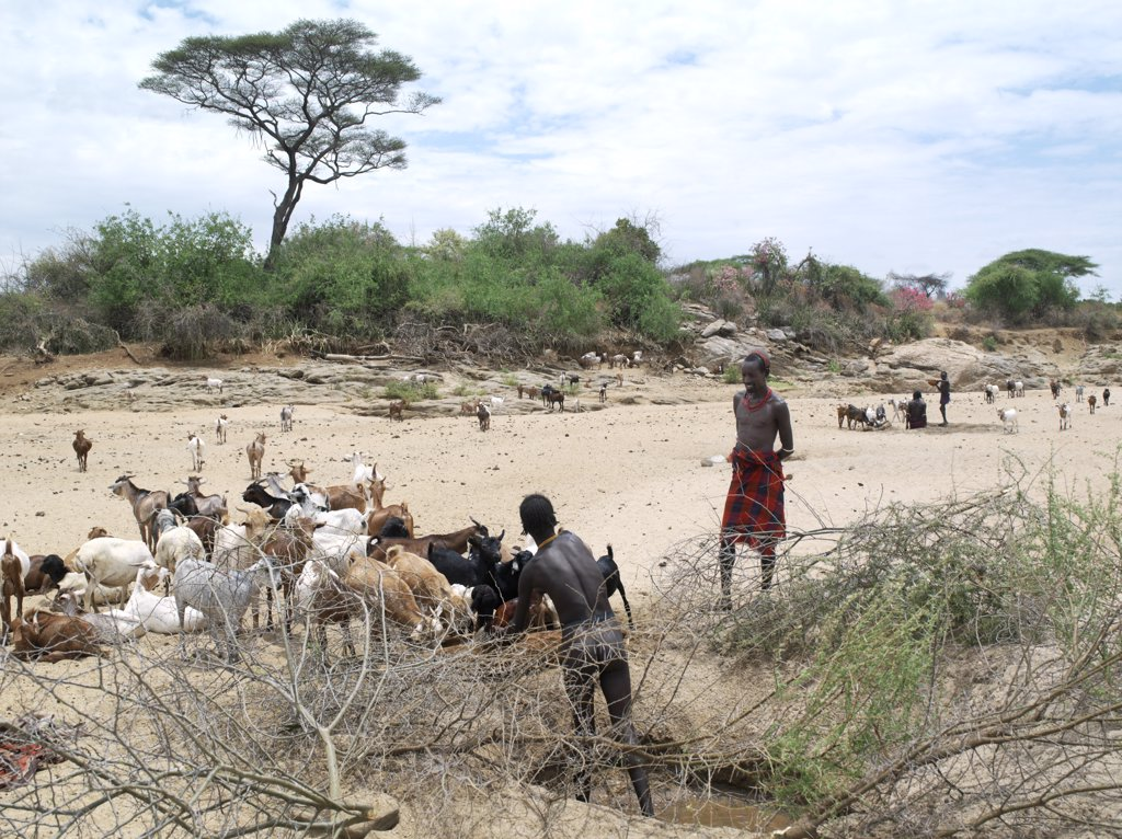 Stock Photo: 4272-10737 A Hamar man waters his livestock from a waterhole in a seasonal river bed. Desert roses are flowering on the far bank. The Hamar are semi nomadic pastoralists who live in harsh country around the Hamar Mountains of Southwest Ethiopia.