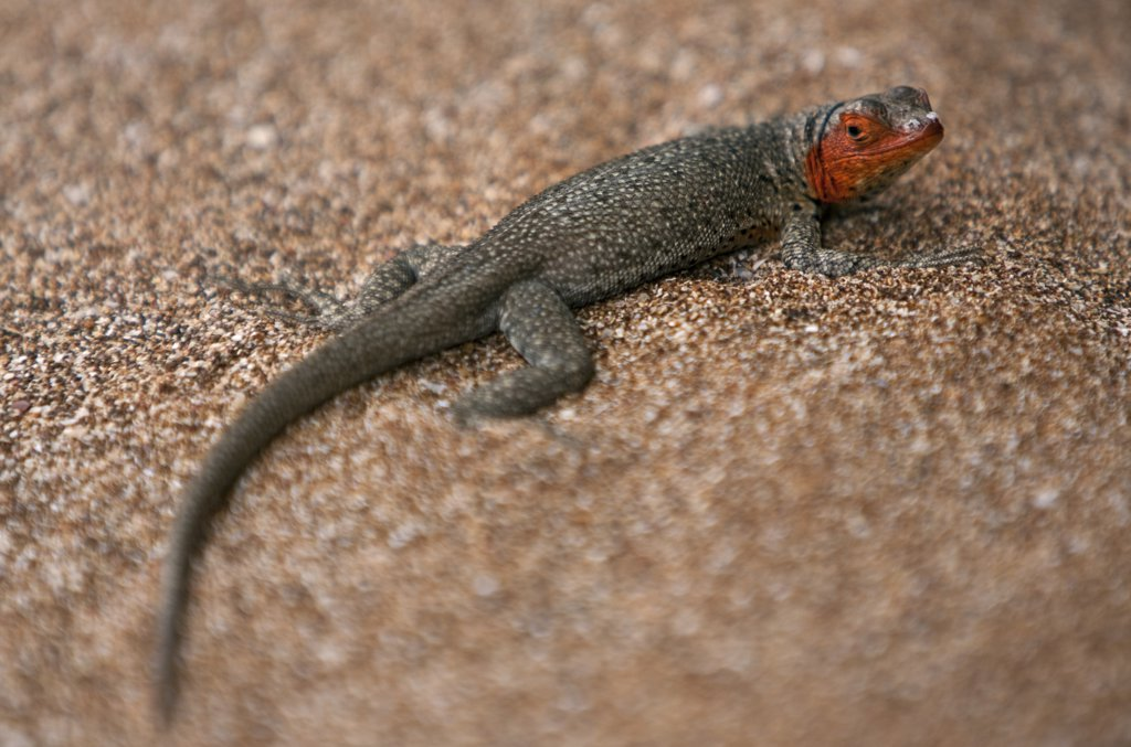 Stock Photo: 4272-11758 Galapagos Islands, A female lava lizard on Bartolome Island identified by its red head.  These ubiquitous reptiles show the phenomenon of adaptive radiation so typical of the Galapagos Islands.