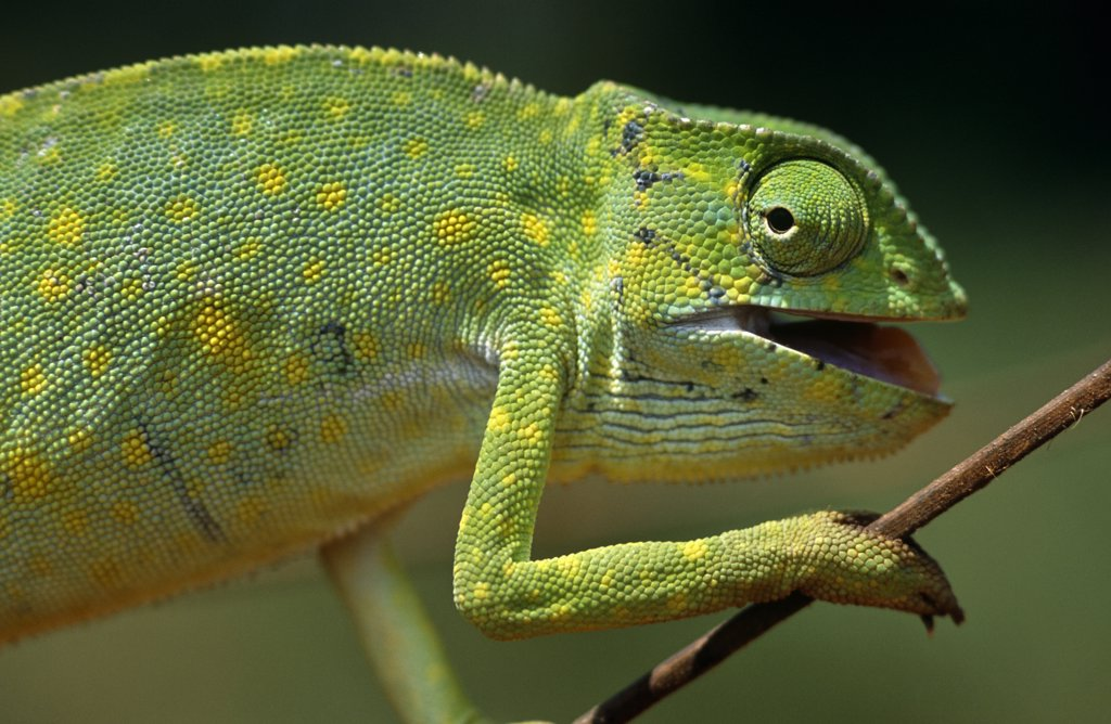 Stock Photo: 4272-12564 Ghana, Northern Region, Wa. A chameleon- these colourful characters are feared by the locals and thought of as unlucky.