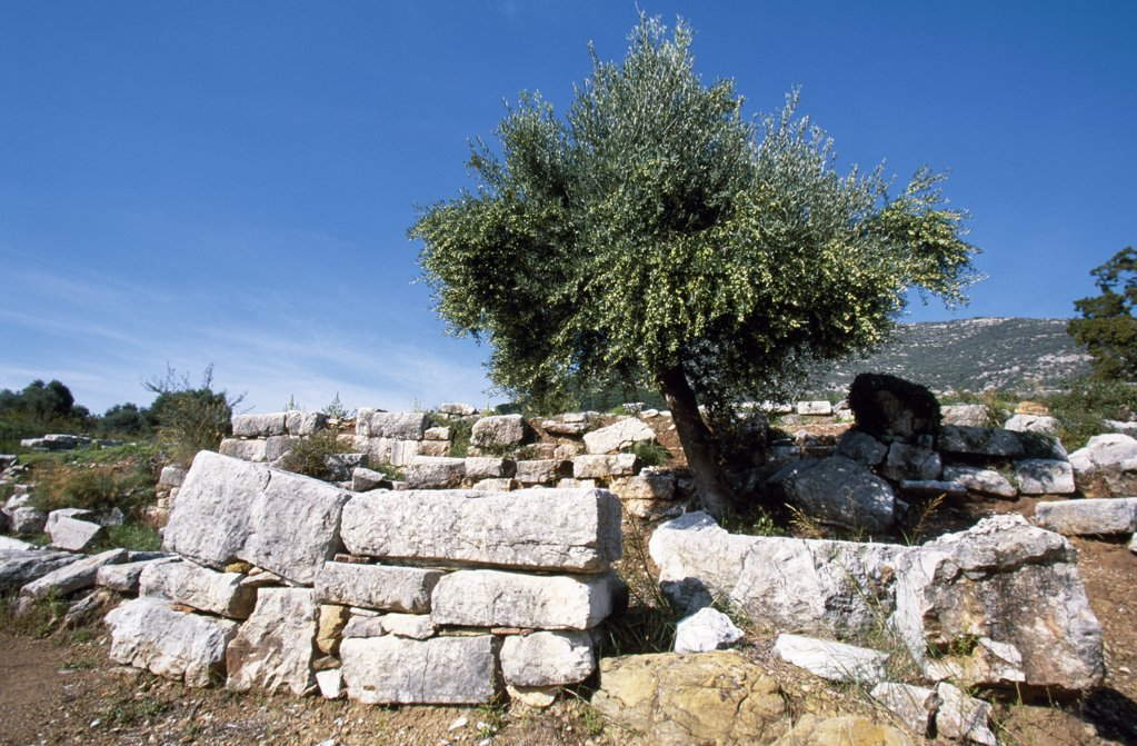 Stock Photo: 4272-12672 A lone olive tree rises from the 4th century BC ruins of Ancient Messene, a fortified city undergoing excavation on the slopes of Mt Ithomi.