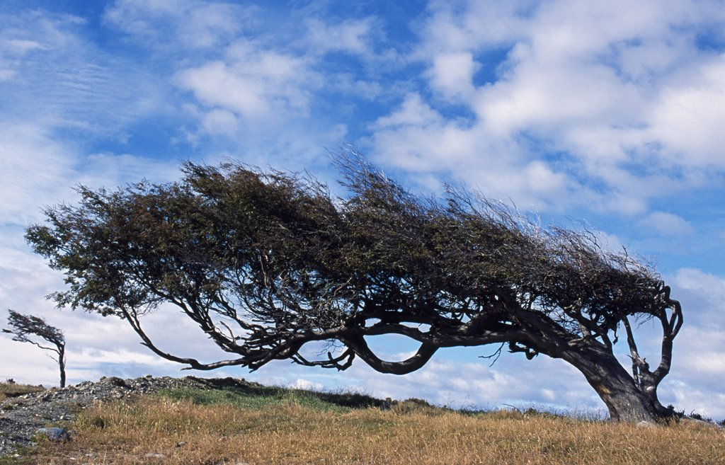 Argentina, Tierra del Fuego, Estancia Harberton. Tree bent over from the strong Tierra Del Fuego West winds : Stock Photo