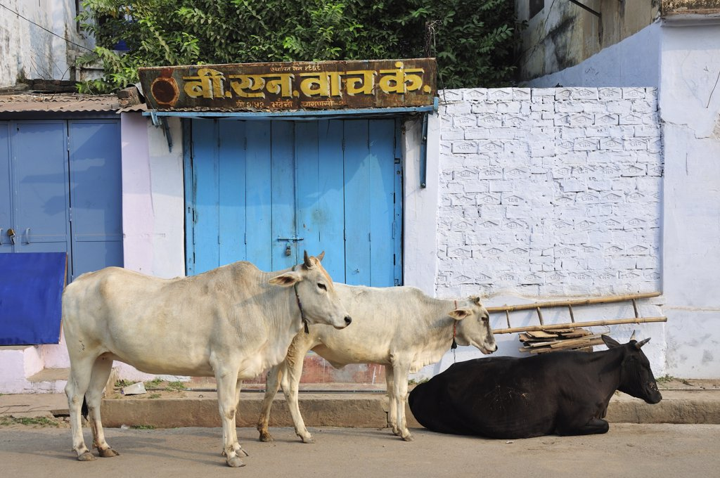 Stock Photo: 4272-14409 Sacred cows, Varanasi, India