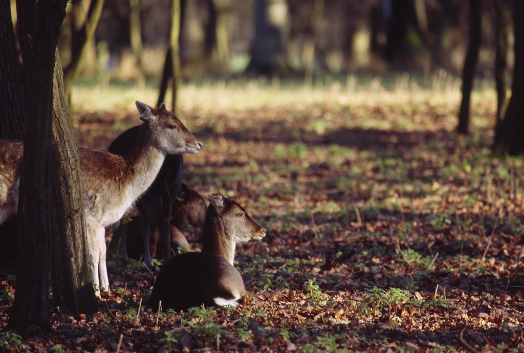 Stock Photo: 4272-14635 Deer in the Phoenix Park on the outskirts of Dublin, Co. Dublin, Ireland