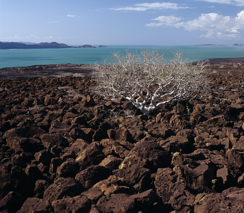A commiphora  tree struggles to survive among basalt boulders - an aftermath of Pleistocene volcanic activity - that litter the countryside at the inhospitable southeast corner of Lake Turkana. The remarkable colour of the lake's alkaline water is caused by green algae with high chlorophyll concentrations.  People often refer to the lake as the Jade Sea. : Stock Photo