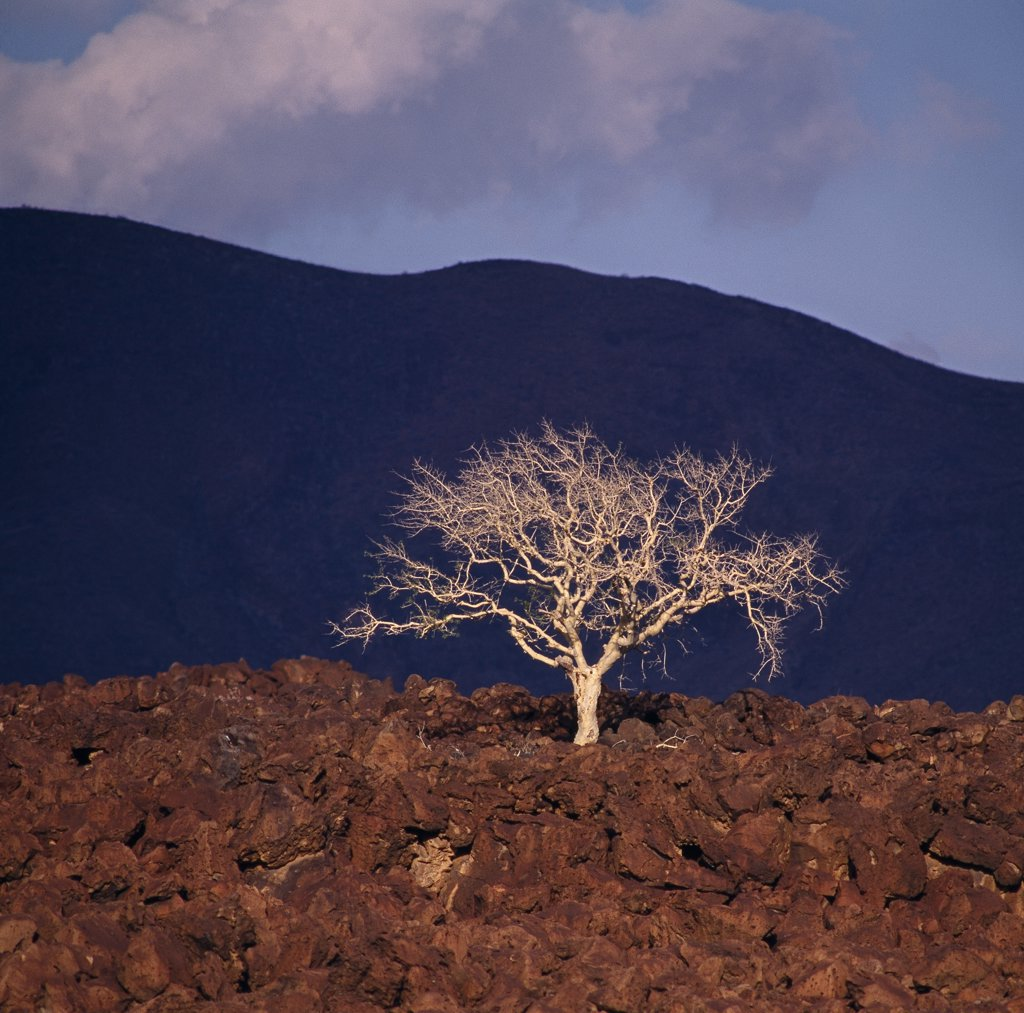 A Commiphora tree struggles for survival in a confused jumble of basalt lava boulders, reddened by the setting sun.  Extensive lava fields are an unpleasant feature of southern Turkanaland. : Stock Photo