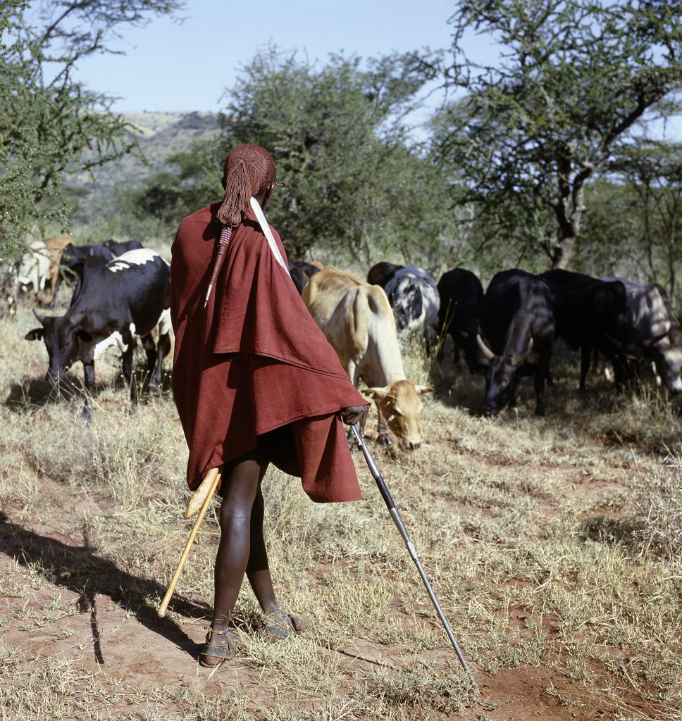 Stock Photo: 4272-16379 A Maasai warrior resplendent with his long ochred braids tied in a pigtail watches over his family's cattle, spear in hand. The singular hairstyle of warriors sets them apart from other members of their society.