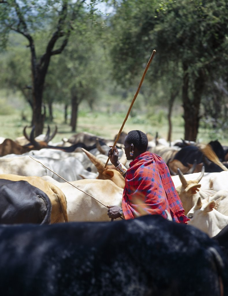A Maasai elder herds his cattle near the foothills of Ol doinyo Orok (the Black Mountain). : Stock Photo