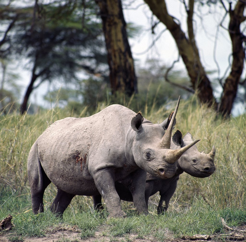 Stock Photo: 4272-16771 A black rhino and calf in Amboseli.  Their skin colour is the result of the mud wallows they frequent in the friable soil of the area. A mother will normally drive off her offspring before a new birth.