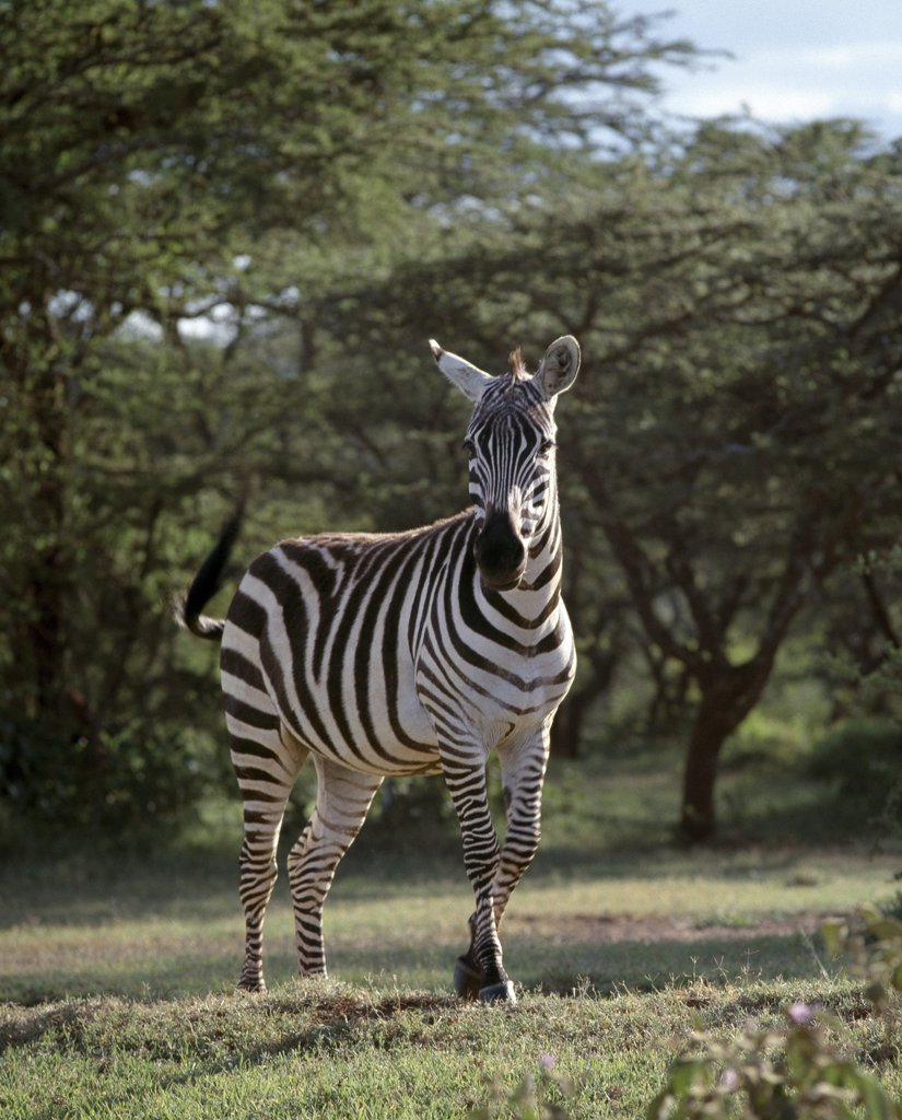 A common or Burchell's zebra near Maralal, Northern Kenya.  This muscular horse-like animal has a relatively short neck and sturdy legs, and can be seen grazing on Kenya's grassy plains.  The largest herds congregate during the dry season : Stock Photo