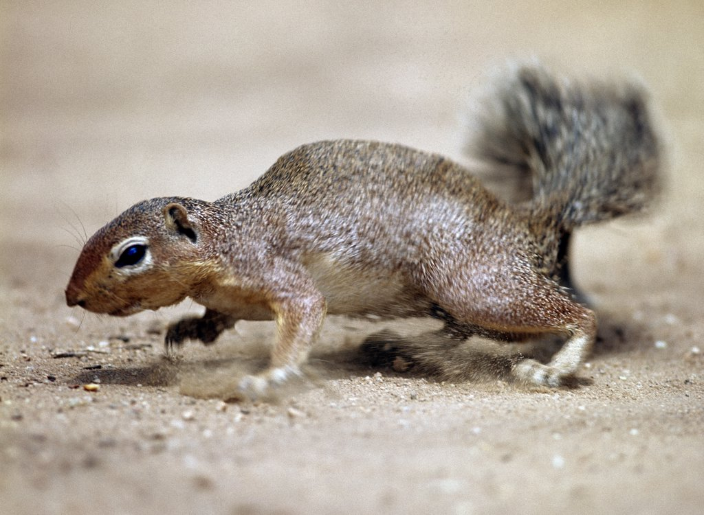 An unstriped ground squirrel. Unlike other members of the squirrel family, ground squirrels rarely climb trees. They frequently stand upright to get a better view of their surroundings. : Stock Photo