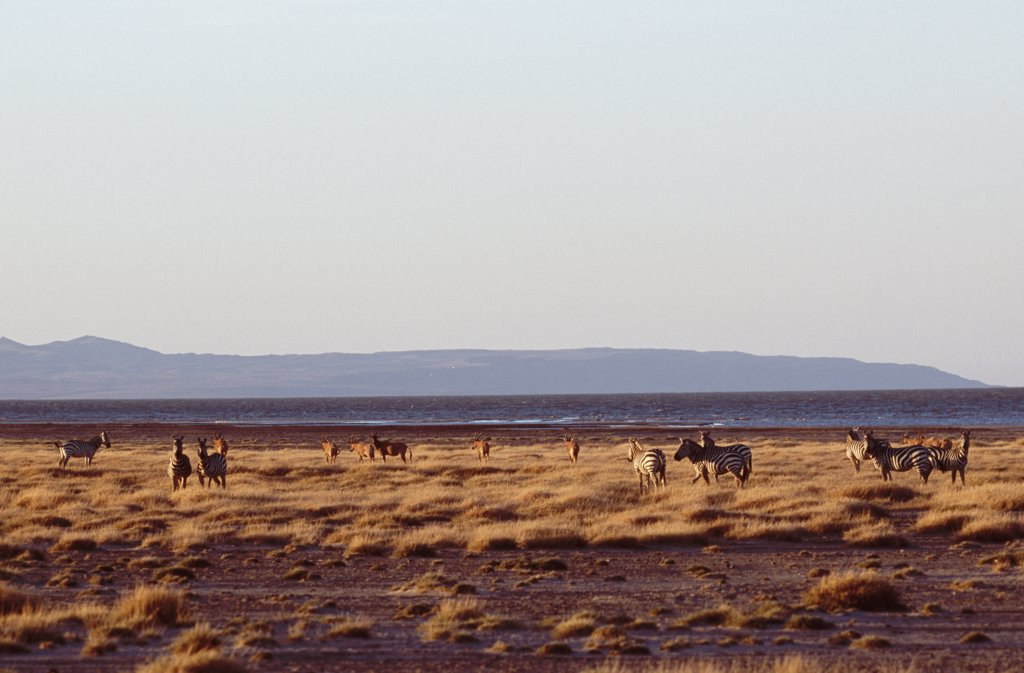 A mixed herd of zebra and topi graze on the grassy shore of Lake Turkana at Koobi Fora : Stock Photo