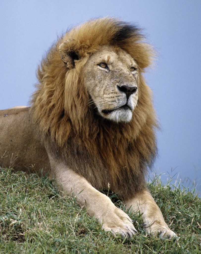 Stock Photo: 4272-16884 A fine maned lion. Adult male lions weigh up to 500lb. They begin to grow manes at the age of eighteen months, which will not fully develop until the age of five or six.