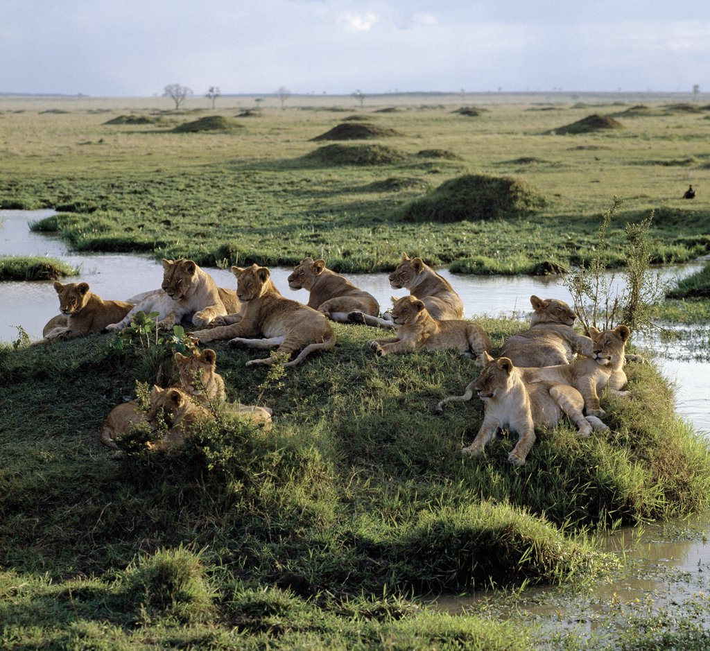 Stock Photo: 4272-16885 A pride of lions rests near water in the Masai Mara Game Reserve. The nucleus of any pride is a number of closely related females.
