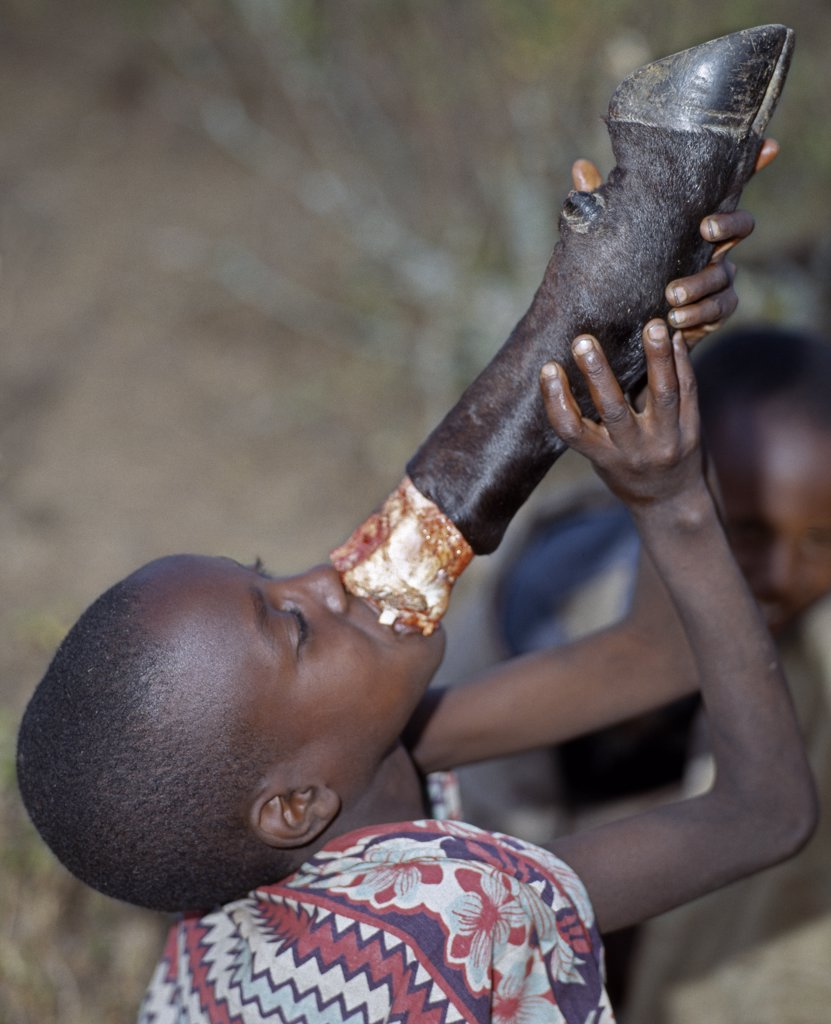 A young Samburu boy sucks marrow straight from the leg bone of a cow. Marrow is a much sought-after delicacy. During every Samburu ceremony, livestock is slaughtered and meat is roasted over wood fires.  Warriors will never eat meat in the presence of married women. : Stock Photo