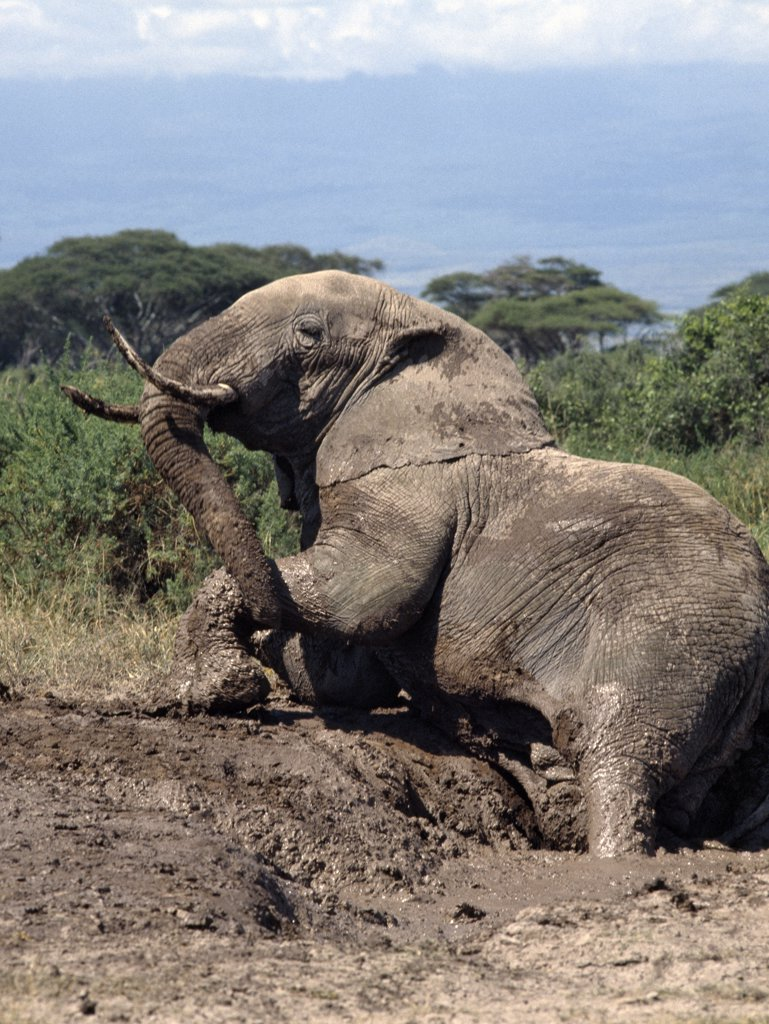 Stock Photo: 4272-16988 An elephant enjoys a mud bath at Amboseli National Park. ,By taking regular mud or dust baths to keep away flies and other biting insects, elephants take on the soil colour of their own habitats.