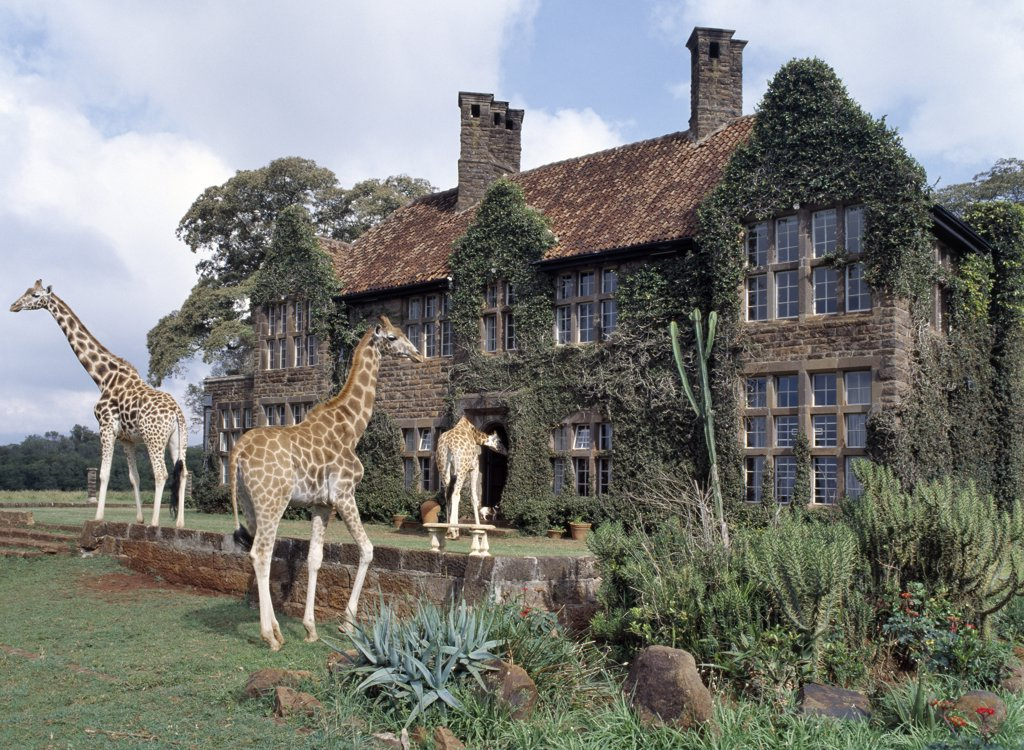 Stock Photo: 4272-16996 Rothschild giraffes at The Giraffe Manor on the outskirts of Nairobi. The centre is a popular tourist destination. There are usually ten adult giraffes at the centre.  When old enough, offspring are sent to other parks and private ranches.