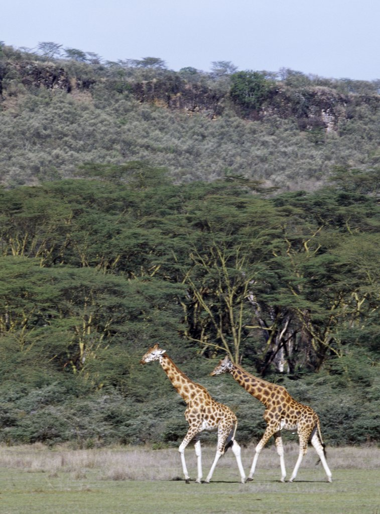Rothschild giraffes in the Lake Nakuru National Park. : Stock Photo