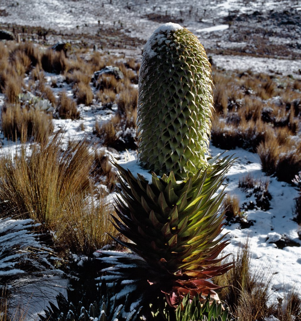 Stock Photo: 4272-17098 A lobelia (Lobelia deckenii spp keniensis) flourishes in snow on the upper slopes of Mount Kenya (17,058 feet).  The range of this sub-species is restricted to the upper slopes of Mount Kenya, above 10,500 feet.