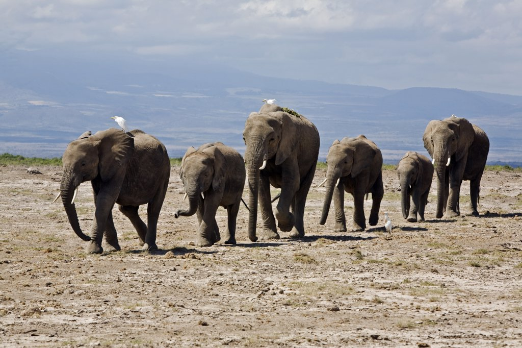 Kenya, Amboseli, Amboseli National Park. A line of elephants (Loxodonta africana) moves swiftly across open country at Amboseli accompanied by cattle egrets. : Stock Photo