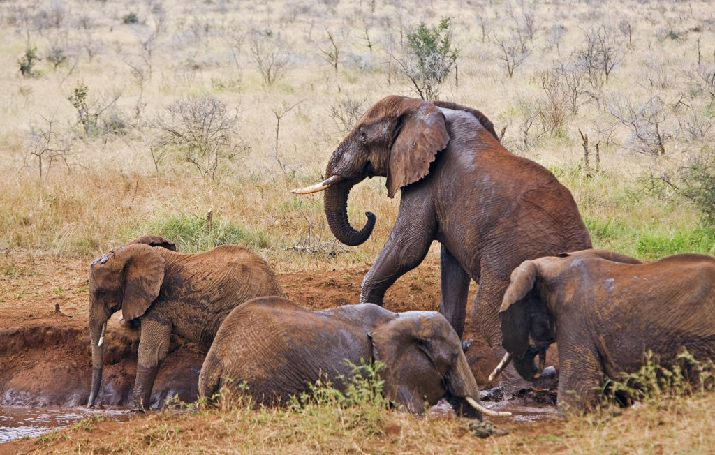 Stock Photo: 4272-17440 Kenya, Tsavo West National Park. Elephants (Loxodonta africana) at a natural waterhole in Tsavo West National Park. The red hue of their thick skin is the result of them dusting themselves with the distinctive red soil of the area.