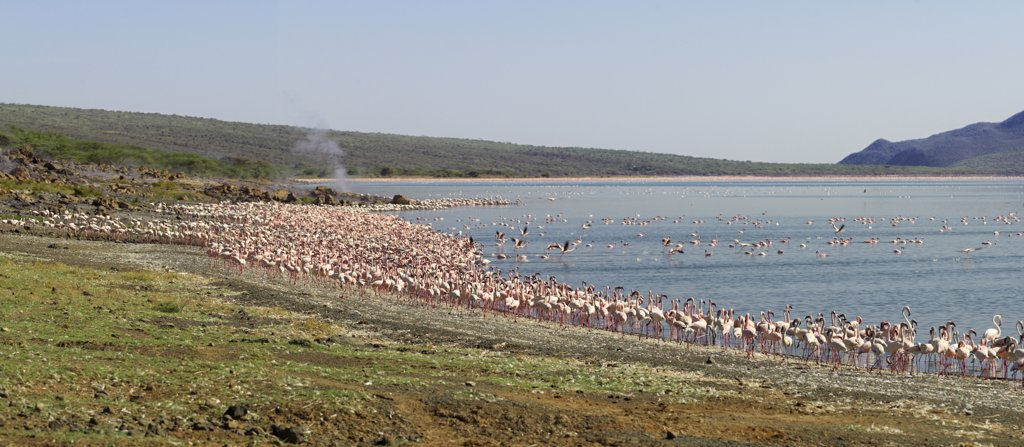 Stock Photo: 4272-17465 Kenya, Kabarnet, Lake Bogoria. Large concentrations of lesser flamingo (Phoenicopterus minor) fringe the shoreline of Lake Bogoria, an alkaline lake in Africa's Great Rift Valley, which is renowned for its dramatic scenery and volcanic steam jets.