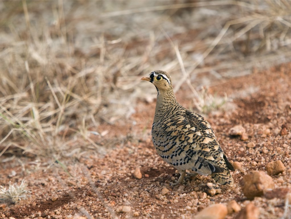 Stock Photo: 4272-17482 Kenya, Tsavo East National Park. A Black-faced sandgrouse.
