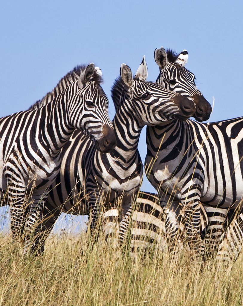 Africa, Kenya, Masai Mara, Narok district. Common zebras in the Masai Mara National Reserve of Southern Kenya. : Stock Photo