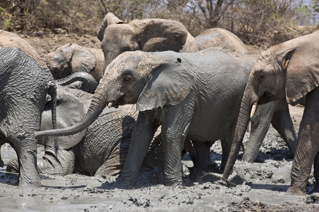 Kenya, Tsavo East, Ithumba. Young elephants enjoy a mud bath at Ithumba where the David Sheldrick Wildlife Trust runs a very important unit for orphans. : Stock Photo